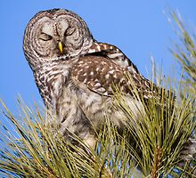 Barred Owl: Eyes Wide Shut by John Williams