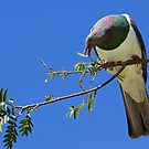 New Zealand Wood Pigeon by Robyn Carter