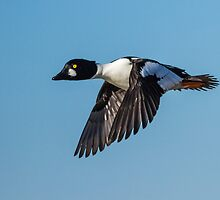Common Goldeneye Drake by John Williams