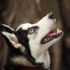 Siberian huskies by mrivserg