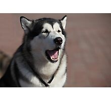 Siberian huskies Photographic Print