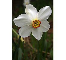 Daffodil (2) Photographic Print