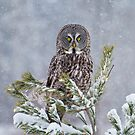 Great Gray Owls Of Canada 2 by Michael Cummings