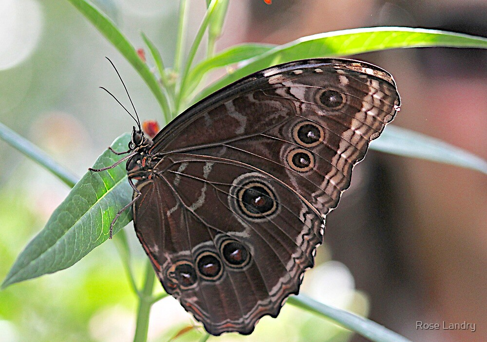 Owl Butterfly by Rose Landry