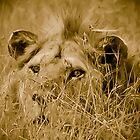 lion in the grass by JKutchera