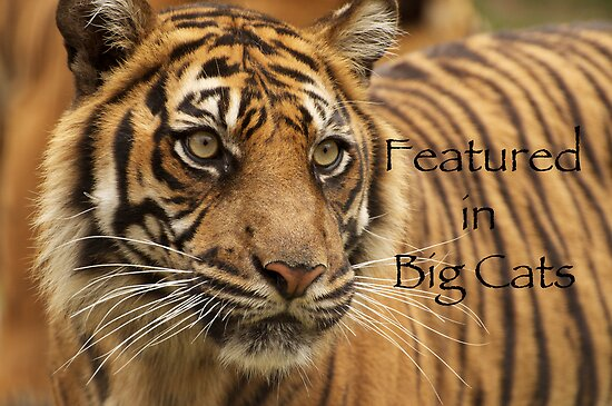 Sumatran Tiger - Big Cats Avatar by AngelaHumphries