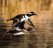 Hooded Mergansers: Drake and Female Duck in Flight by John Williams