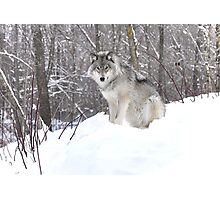 My Wolf : The kiss of the wolf Photographic Print