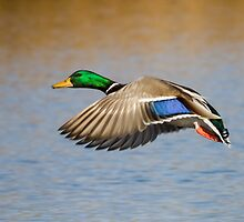 Mallard Drake: Common but Dazzling by John Williams