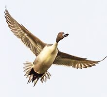 Northern Pintail Drake in Flight by John Williams