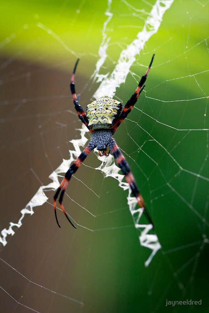 Hawaiian Spider  by jayneeldred