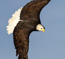 Bald Eagle  by John Williams