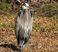 Great Blue Heron, Phil & Marilyn Isenberg Sandhill Crane Reserve by Maurine Huang