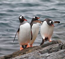 Gentoo trio by DianaC