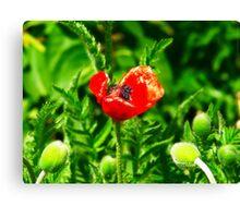 Poppy (Velvia-Style) VRS2 Canvas Print