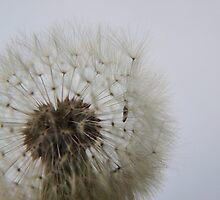 Blowing on Dandelion Seed  by vivendulies