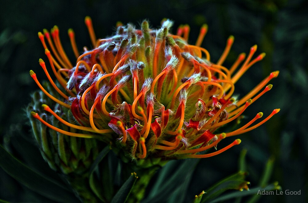 Pincushion Protea by Adam Le Good
