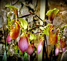 Slipper Orchids by mubadalashan