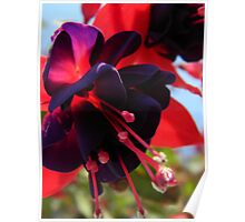 Fully Bloomed Red and Purple Fuchsia Poster