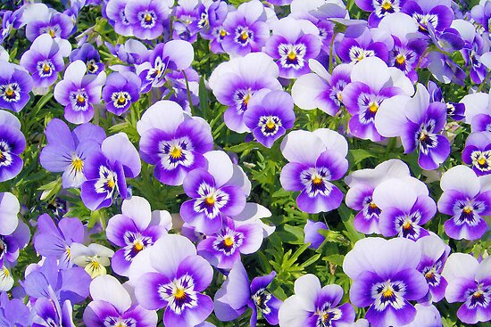 Purple Pansies by ©Dawne M. Dunton