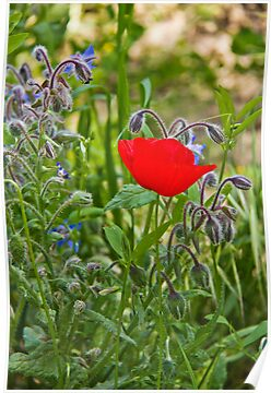 Poppy &amp; Borage by vivsworld