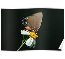 Great Purple Hairstreak Butterfly  Poster