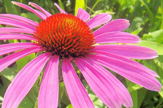Eastern Purple Coneflower by ©Dawne M. Dunton
