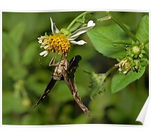 Dorantes Longtail Butterfly Poster