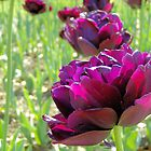 Purple Tulip by Dawne Dunton