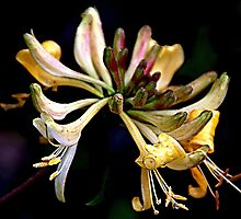 #21 - Honeysuckle by Photography  by Mathilde