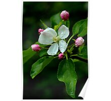 Spring Apple Blossom Encircled By Pink Buds Poster