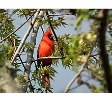 Cardinal in Spring Tree Photographic Print