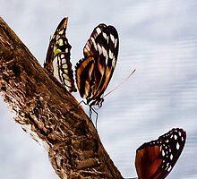 Butterflies by Hannah Foley