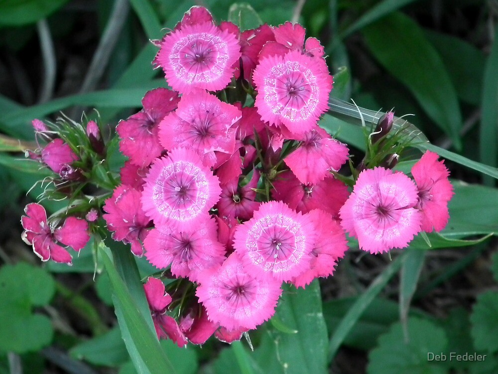Overhead View of Pink Dianthus by Deb Fedeler