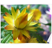 Curry Strawflower Poster