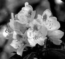 Rhododendron Blossoms (Black & White) by Gene Walls