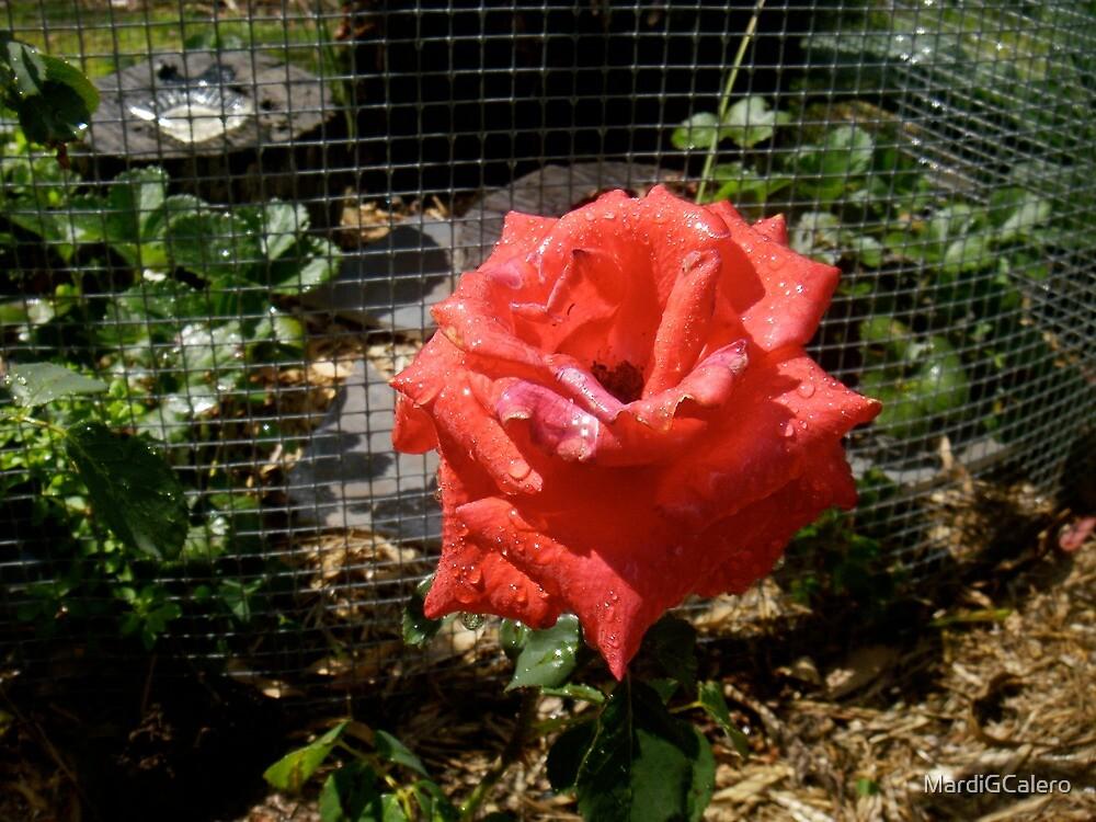 Red Rose by MardiGCalero