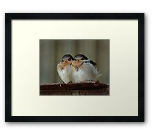 Swallow Chicks Framed Print