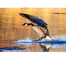 Canada Goose: Setting down for The Night Photographic Print