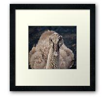 Isolated Black Swan Cygnet Framed Print