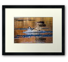 Canada Goose: Evening Framed Print