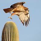 Red-tailed Hawk ~ Prickly Take-off by Kimberly P-Chadwick