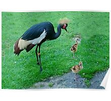 Crowned Crane and Babies Poster