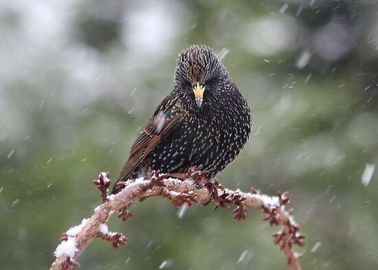 Starling in the Snow by AnnDixon