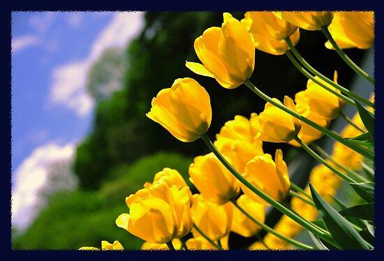 Tulip Delight  by amira