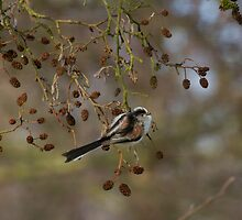 Long-Tailed Tit Feeding.. by Lauren Tucker