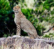 Cheeta in Masai Mara by Pravine Chester