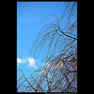 Salix Nigra - Black Willow Against The Winter Blue Sky  by © Sophie Smith