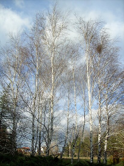 Birch by Ana Belaj
