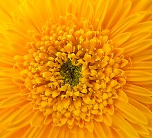 Gerbera by Soniris